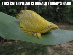 It's a caterpillar, but it's also a wig!